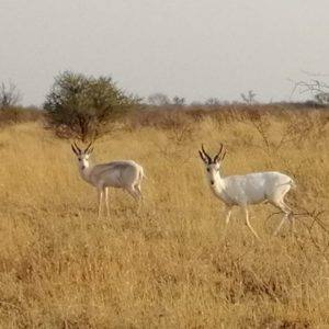White Hartwater Springbuck for sale