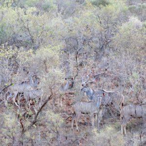 "63"" Kudu Heifer Genetics"