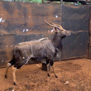 Nyala Bull for sale from Thabazimbi My Wildlife SA