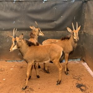 Sable Heifers for sale from My Wildlife Thabazimbi