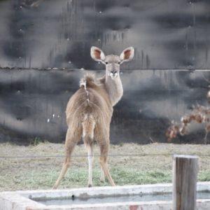 Kudu Breeding Group on auction