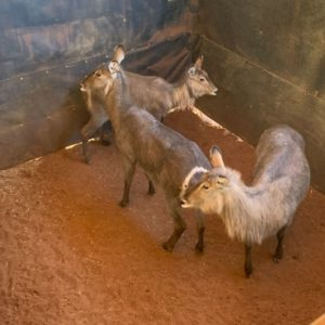 Waterbuck for sale on auction