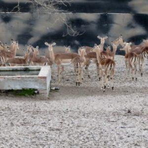 Impala Ewes on Auction