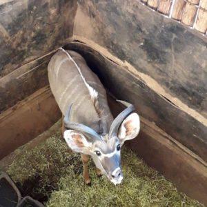 Kudu Bull for sale