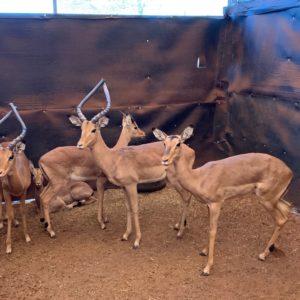 Impala Breeding Group